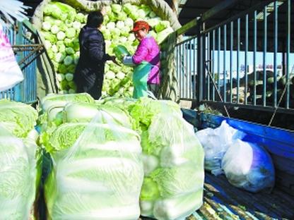 """改变传统""""冬贮大白菜""""由农户和经销商代替"""