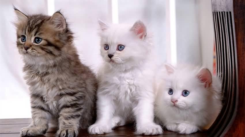 波斯猫外观特色及饲养技巧